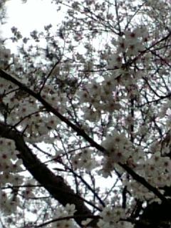 sakura_04.jpg