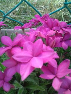 hana_pink.jpg