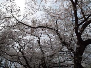 sakura_207.jpg