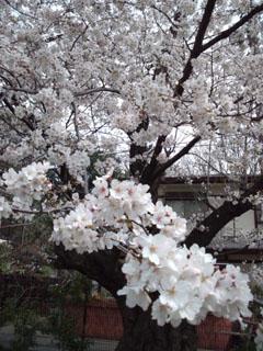 a_sakura_04.jpg