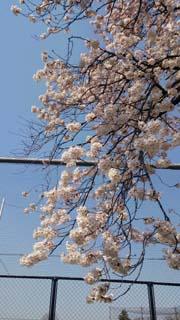 sakura_02.jpg