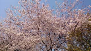 sakura_03.jpg