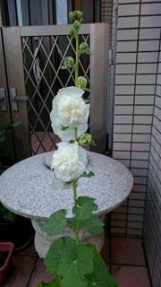 shiro_hana.jpg