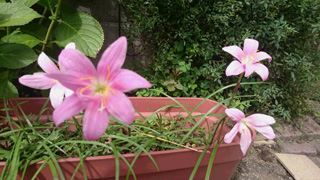 pink_hana.jpg